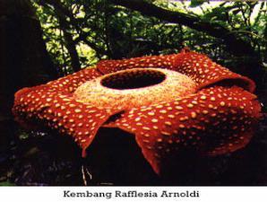 Raflesia arnoldi