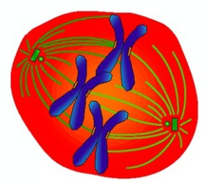 fig_1_cell_mitosis