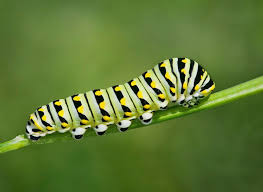 Metamorfosis kupu-kupu – a t p j