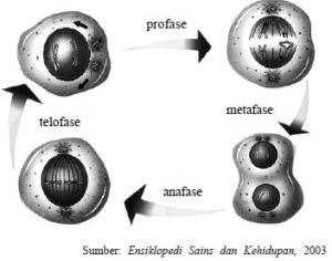 Gambar-4.1-Fase-fase-pembelahan-sel